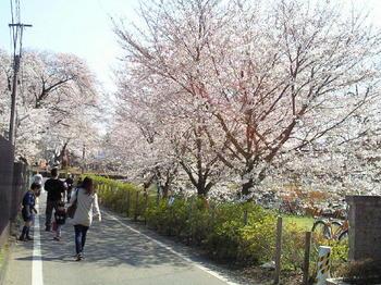 20120408万葉花まつりと桜.jpg