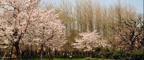 失われた風景 桜.JPG