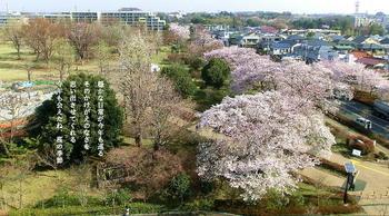 20120410桜並木.JPG